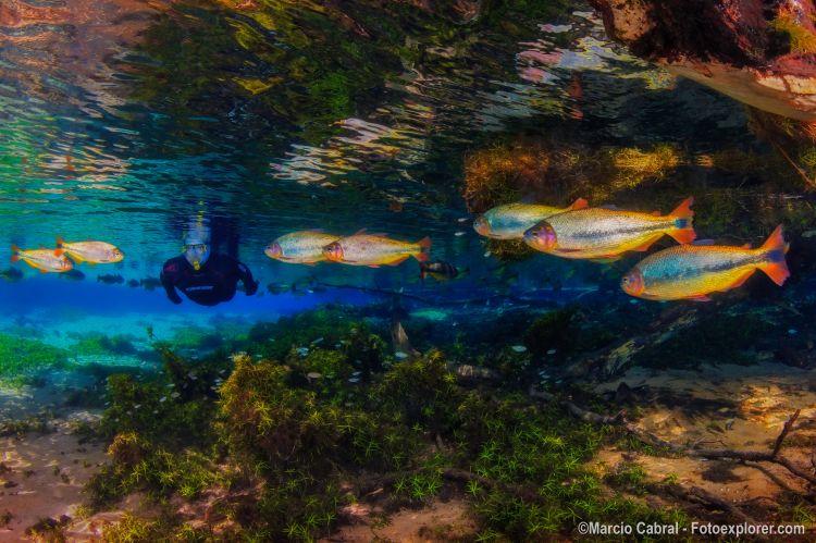 A flutuação em Bonito é uma das atividades mais apaixonantes. O passeio no Recanto Ecológico Rio da Prata proporciona a oportunidade de tornar-se um peixe imenso em um aquário de águas cristalinas.Caso tenha interesse em adquirir outras imagens do fotógrafo, entre em contato diretamente com o profissional através do e-mail: fotoexplorer@gmail.com